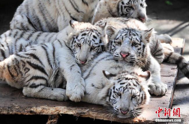 武汉野生动物园_云南野生动物园5只小白虎与游客见面 - 图集 - 城市联合网络电视台