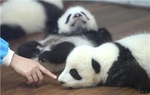 23只熊猫幼崽满地爬