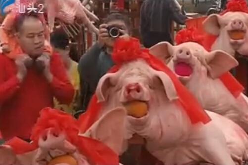 潮汕风 2016-03-14 赛大猪
