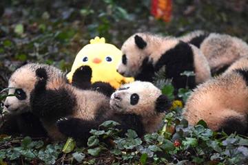熊猫宝宝迎新年