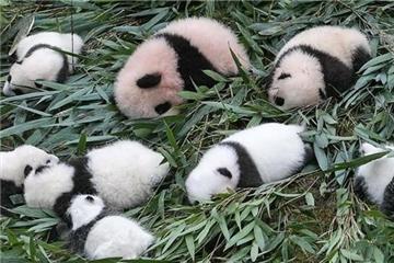 大熊猫保护研究中心今年繁育大熊猫幼仔42只