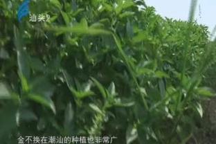 潮汕独特调味草 香味迷人应用广 2017-11-14