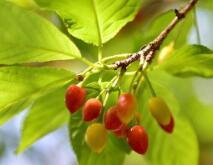 福州的樱桃熟了