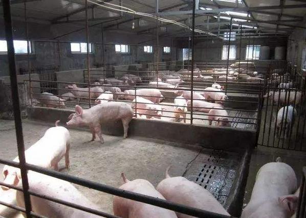 上海市金山区排查出非洲猪瘟疫情