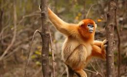 四川九顶山自然保护区什邡站拍到川金丝猴珍贵视频