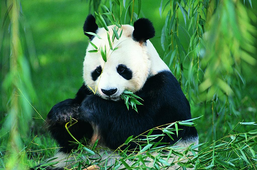 唐家河国家级自然保护区两次拍到野生大熊猫母子同框